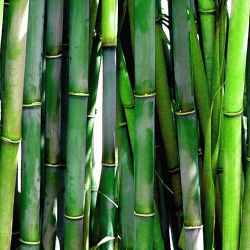 bambou de haie