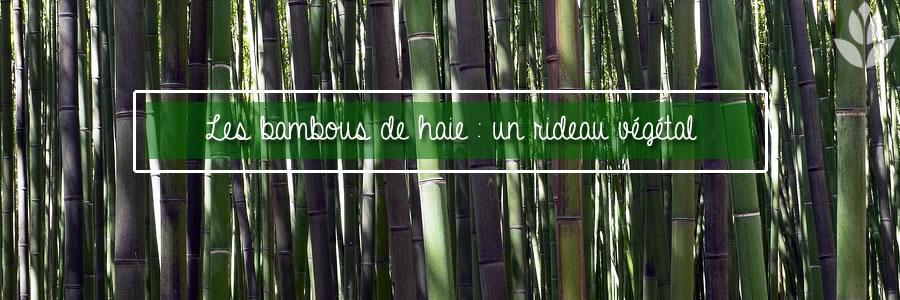 bambou de haie rideau végétal