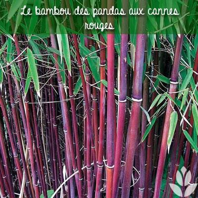 bambou des pandas