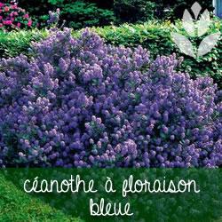 céanothe à floraison bleue