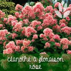 céanothe à floraison rose