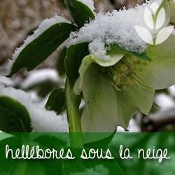 hellébores sous la neige