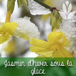 jasmin sous la glace