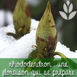 floraison qui se prépare en hiver pour le rhododendron