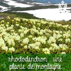 rhododendron plante de montagne