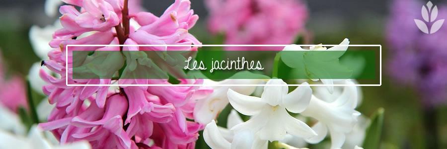 les jacinthes dans la maison et dans le jardin