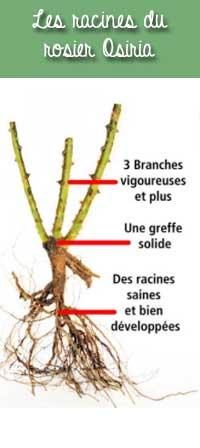 racines du rosier Osiria