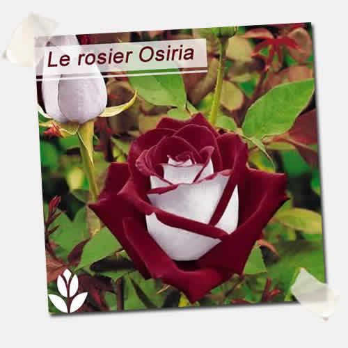 rosier osiria Willemse