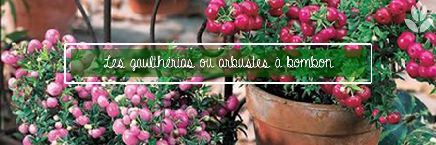 les gaulthérias ou arbustes à bombons