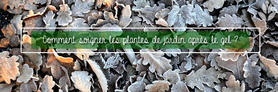 soigner les plantes après le gel