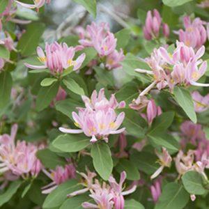 les petits arbustes fleuris de jardin