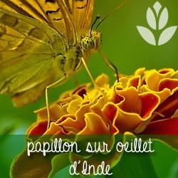 papillon sur oeillet d'indes du potager