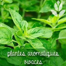 plantes vivaces aromatiques