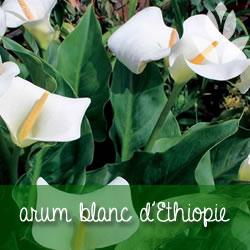 arum blanc d'Ethiopie
