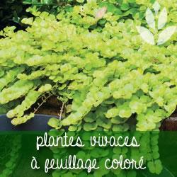 plantes vivaces à feuillage coloré