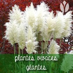 plantes vivaces géantes