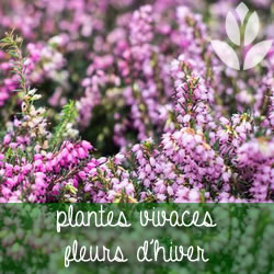 vivaces à floraison hivernale