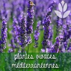 plantes vivaces mediterranéennes