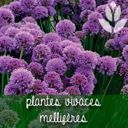 plantes vivaces mellifères