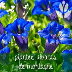 plantes vivaces de montagne