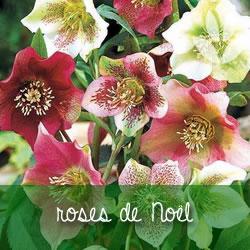 roses de noël