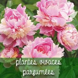 plantes vivaces parfumées