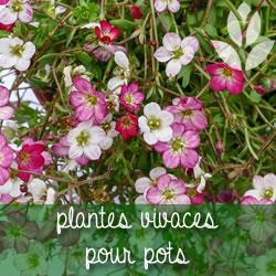 plantes vivaces pour pots