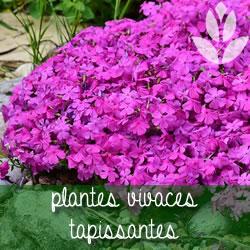 plantes vivaces tapissantes