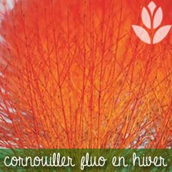 cornouiller fluo