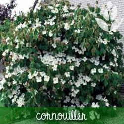 cornouiller de jardin