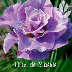 iris de sibérie