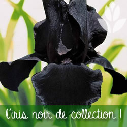 iris noir de collection