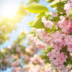 Cerisiers archives les conseils pour votre jardin de for Willemse jardin