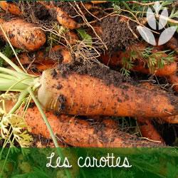 carottes du potager