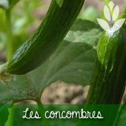 concombres du potager