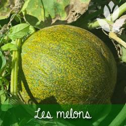 melons du potager