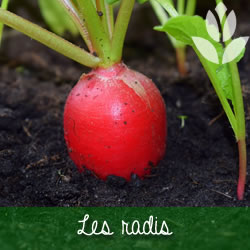 les radis du potager