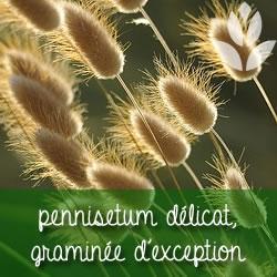 pennisetum délicat