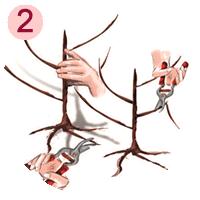 taile des racines du fruitier