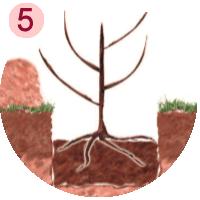 placez le fruitier dans le trou de plantation