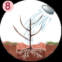arrosez le fruitier juste planté