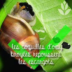 coquilles d'oeuf répulsif des escargots