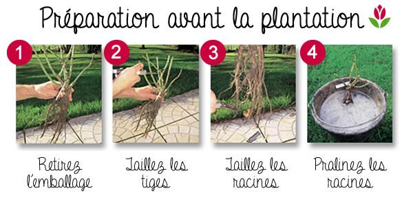 plantation des rosiers étape par étape