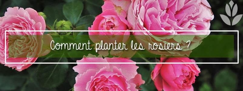 comment planter les rosiers?