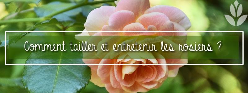 comment tailler et entretenir les rosiers?
