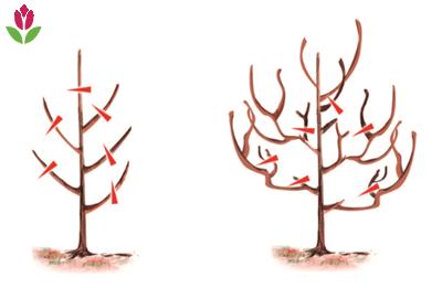 la tailles des arbres fruitiers ramifiés