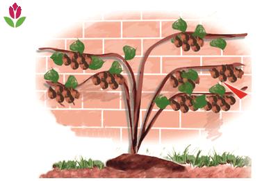la taille des actinidias kiwi