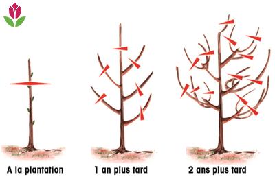 tailles des fruitiers