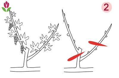 taille des vignes et bourgeons