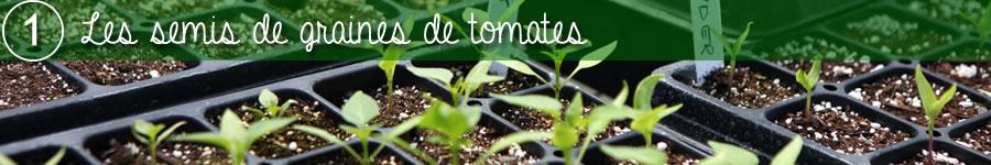 les semis de graines de tomates